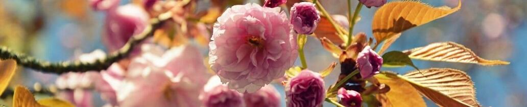 Japanese carnation cherry